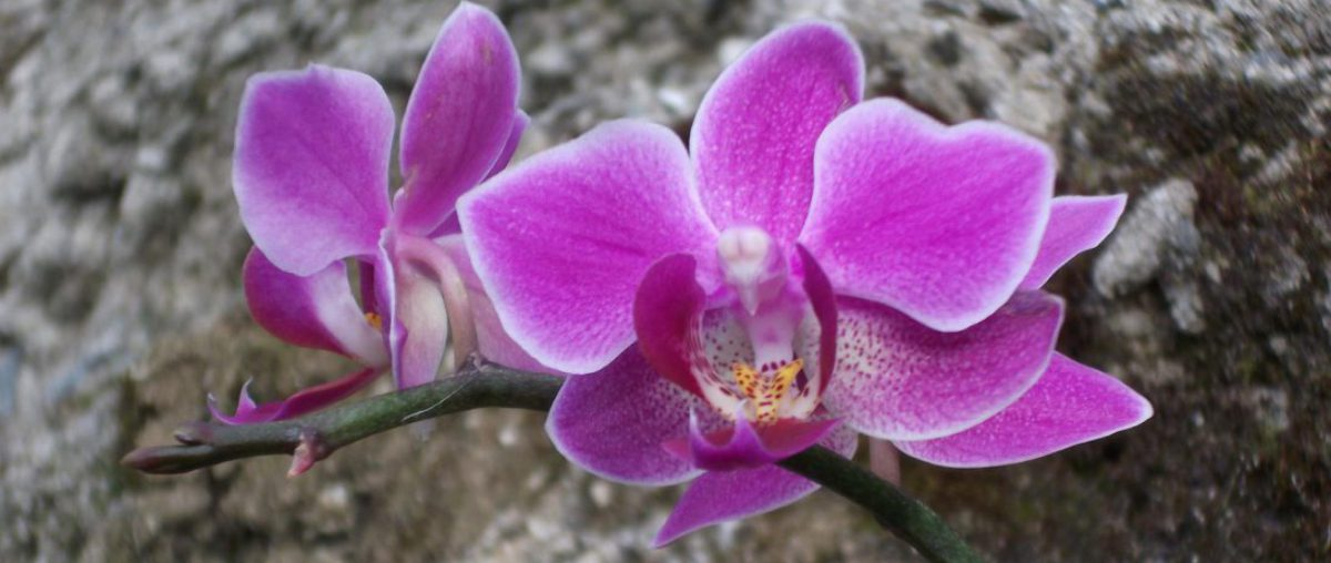 cropped-cropped-cropped-orchid1.jpg